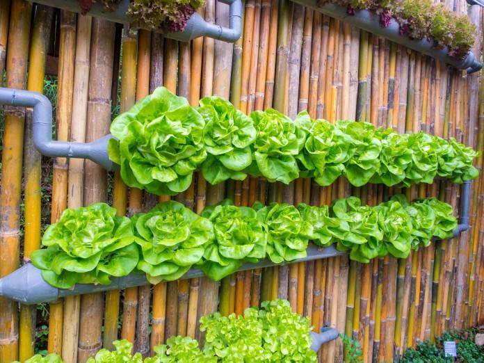 Butter lettuce pipes