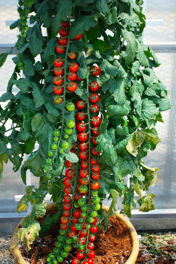 Container Rapunzel Tomatoes