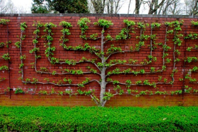 Espaliered Fruit Trees Candelabra