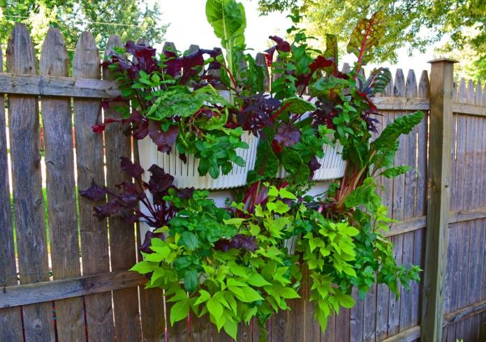 Lettuce Basil Fence Garden
