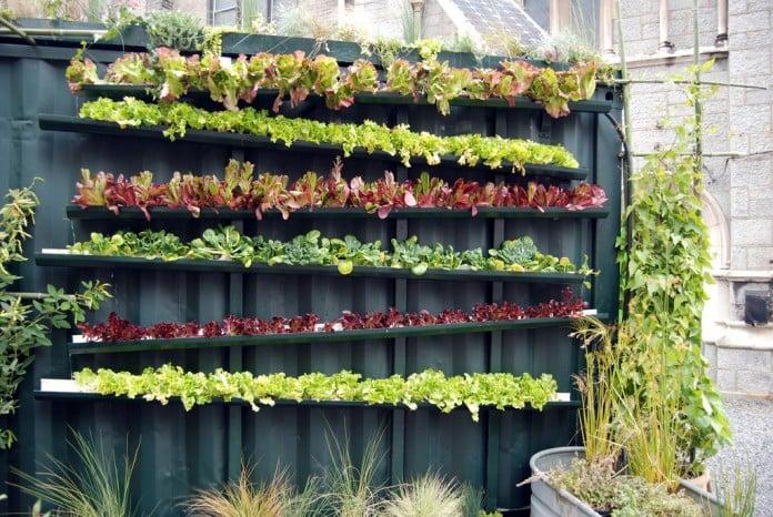 Urban Vertical Lettuce Garden