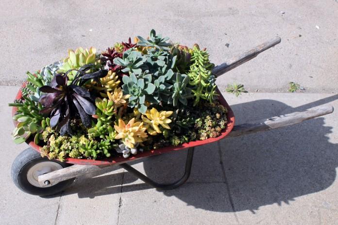Succulent wheelbarrow gardening
