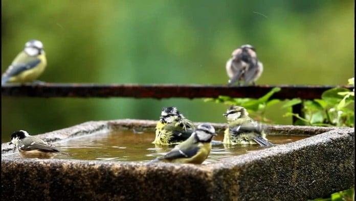 Chickadees love bird baths
