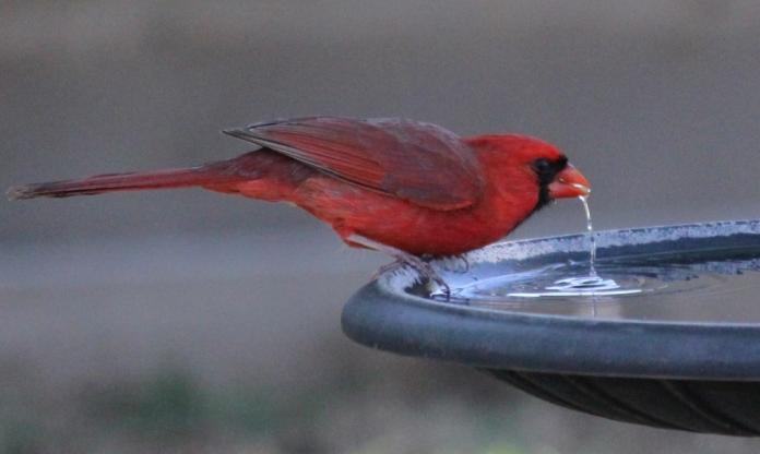 Cardinal Bird Bath Drinking