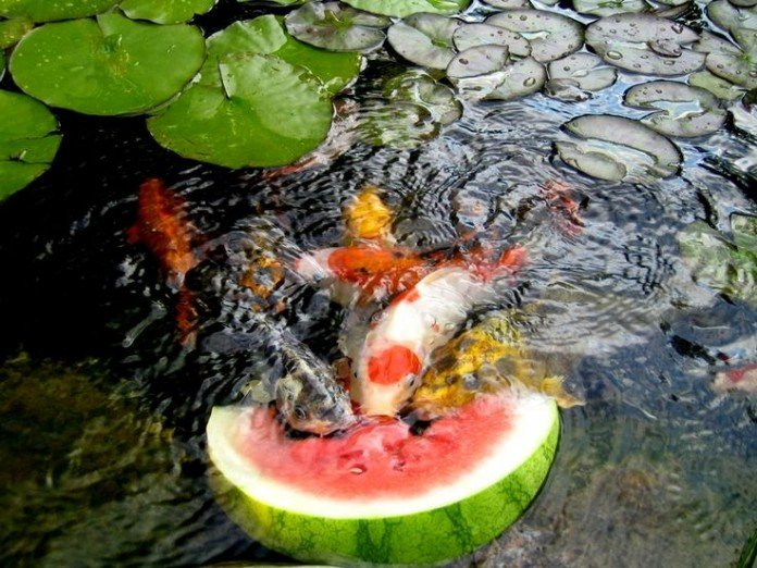 Water garden and koi pond designs for the backyard and patio for How to build a koi pond on a budget