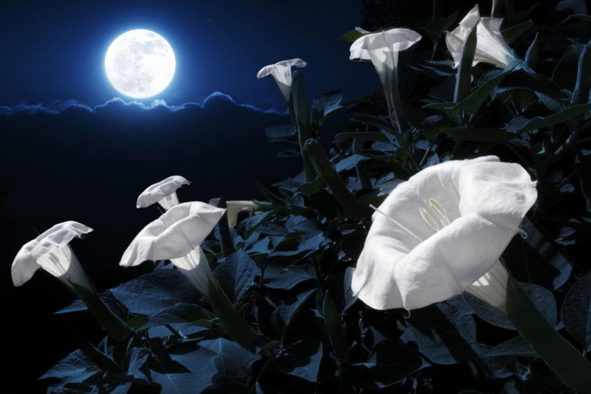 Moon flowers and the full moon