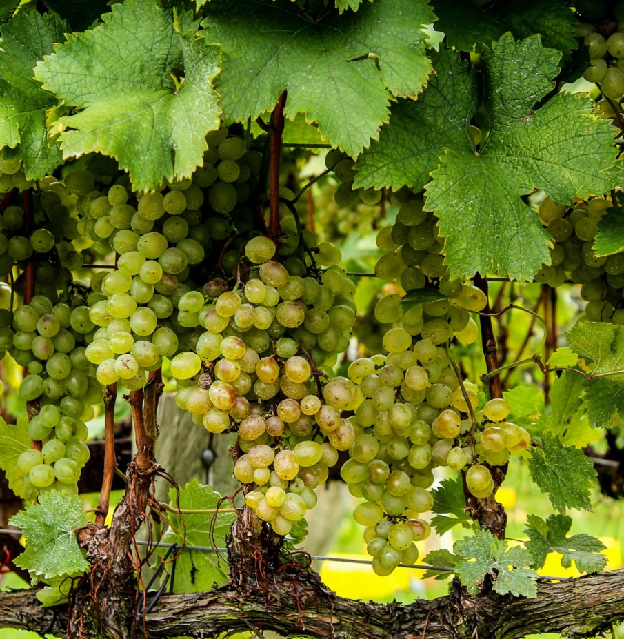 Ripe bunches of white grapes approaching seasonal harvest time, used for white or orange wine production