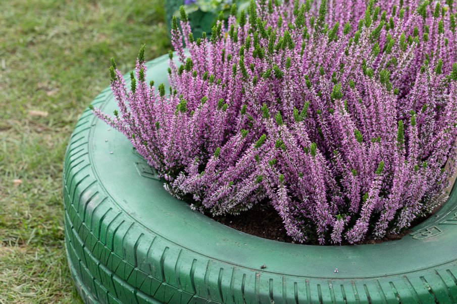 close-up of purple flowers in a tire planter