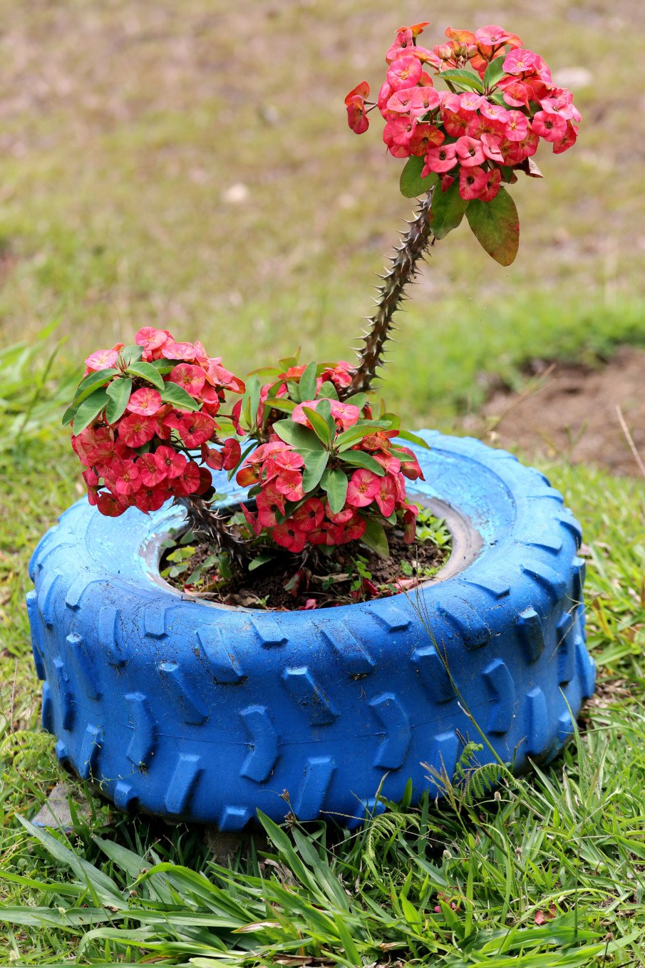small tractor tire with a thorny flower plant