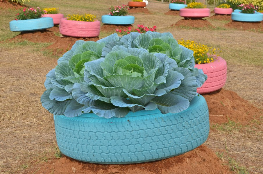 Huge cabbage growing from a painted tire planter