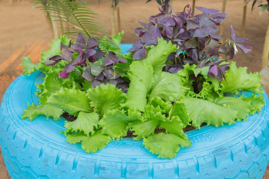 lettuce and greens growing from a tire planter