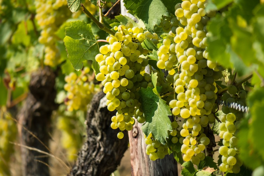 White wine grapes hanging on a vine