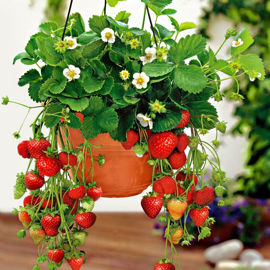 Hanging basket strawberry planting idea