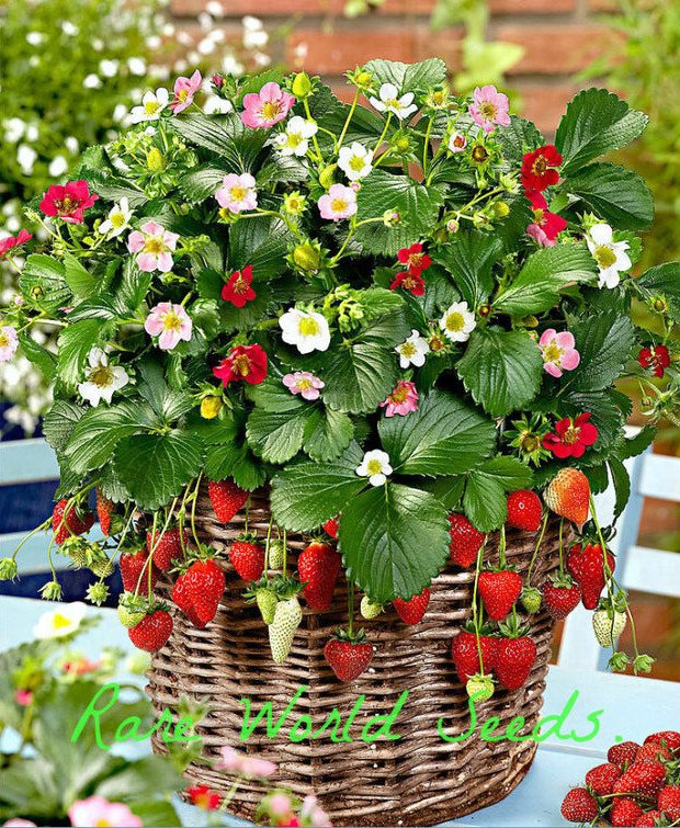 Strawberry plant blooming in 3 different colors