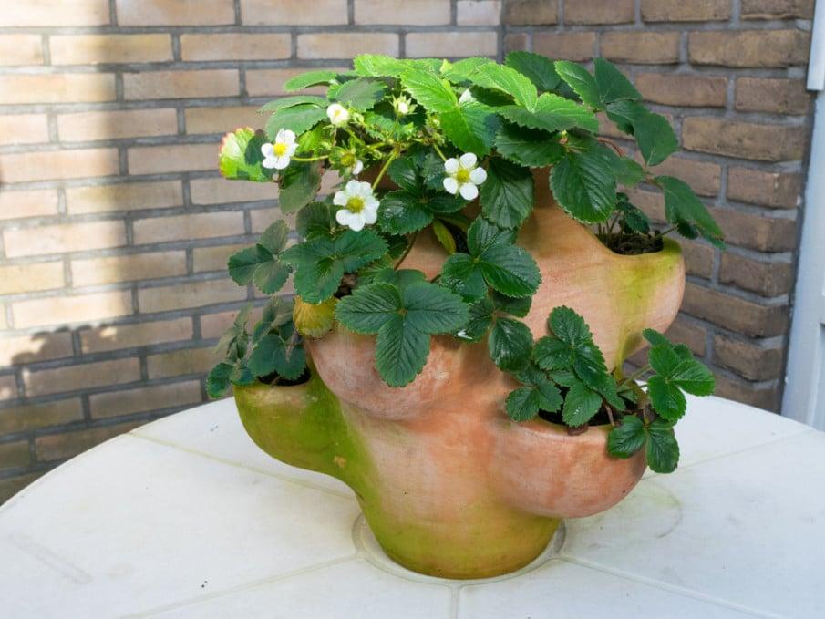 Small terracotta strawberry jar ideas