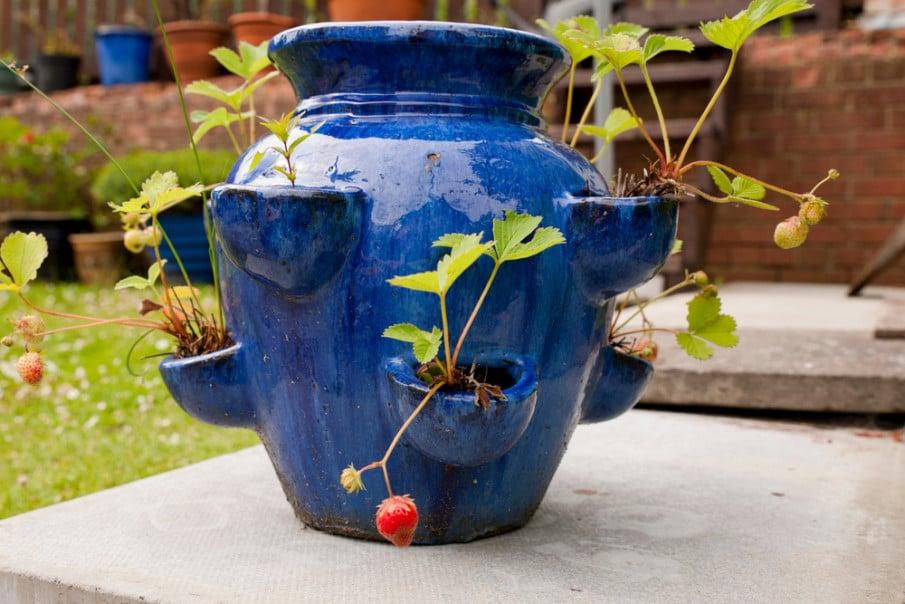 Terracotta strawberry jar ideas