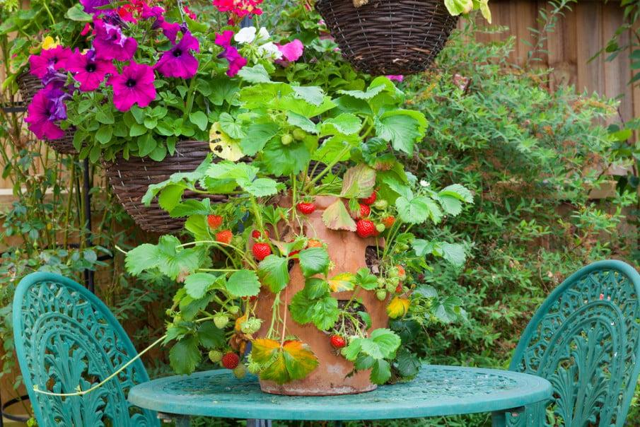 Planting straberries in terracotta jar