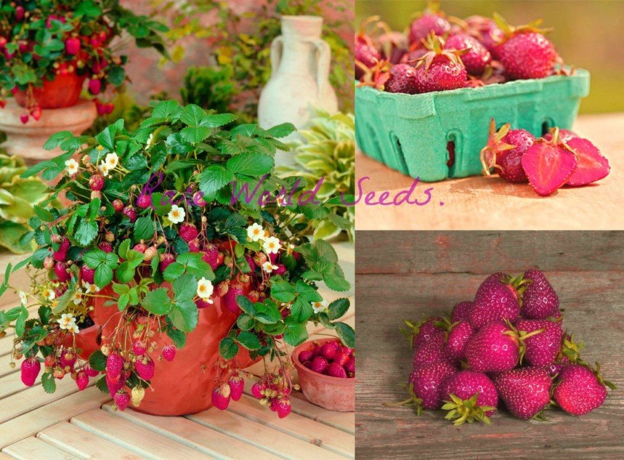 Purple strawberry plant growing in pot