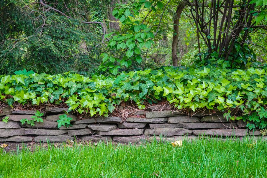 Dry stack stone wall landscaped with leafy vines